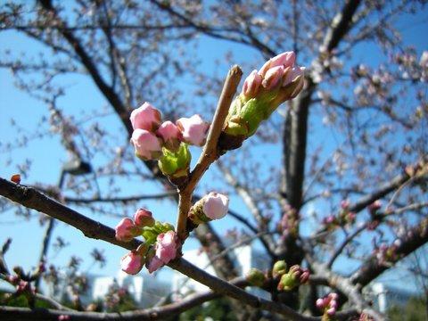 桜つぼみ.JPG
