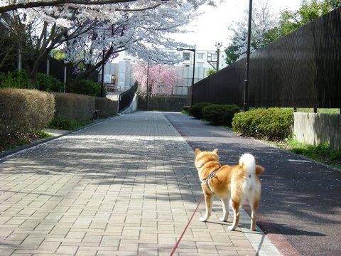 桜の道.JPG